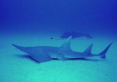 サンライズ トンガリサカタザメ