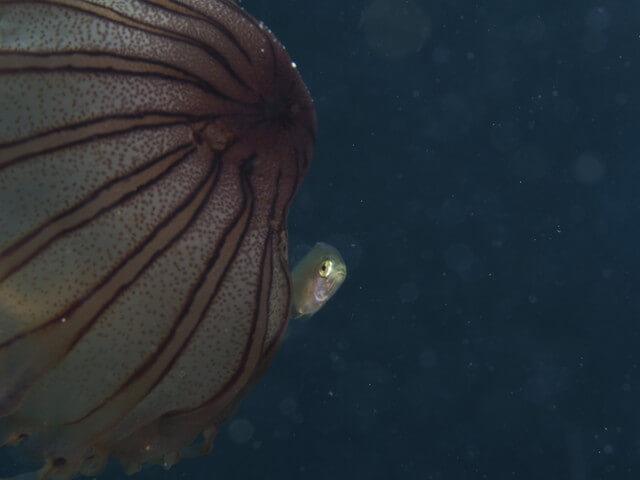 浮遊系 魚