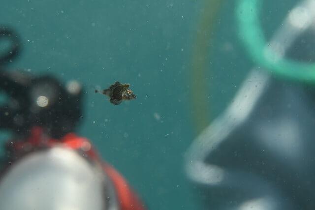 浮遊系ホウボウ