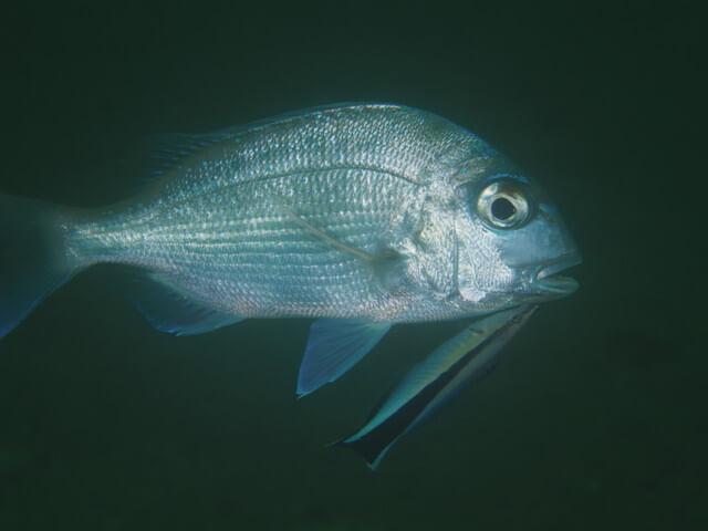ダイブショップサンライズ 鯛
