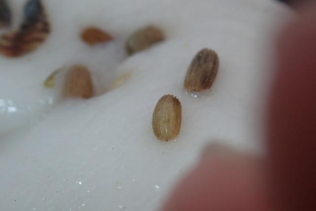 ダイブショップサンライズ アマモの種