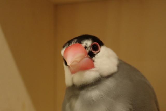 ダイブショップサンライズ 文鳥