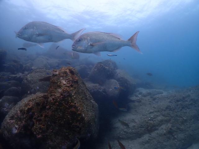 ダイブショップサンライズ 真鯛