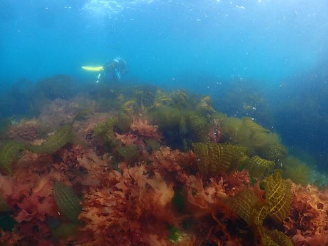 ダイブショップサンライズ 知床ダイビング 海藻
