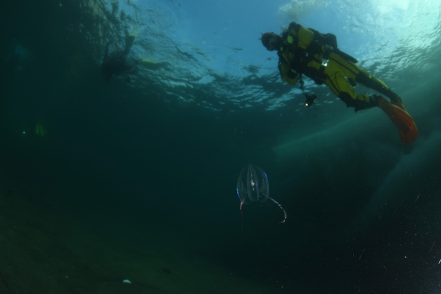 ダイブショップサンライズ 知床流氷ダイビング トガリテマリクラゲ