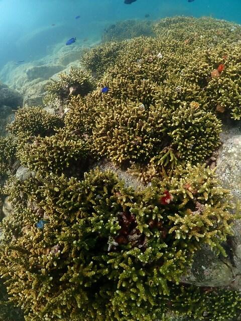 ダイブショップサンライズ サンゴ